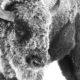 bison, winter, snow