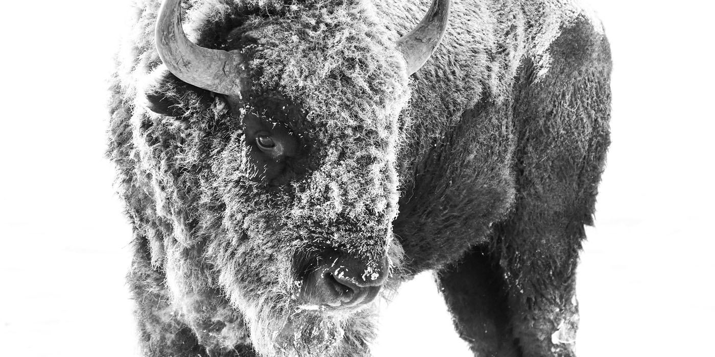 bison, winter, snow